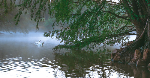 lake morning mist water avian cold sunrise duck pair nopeople green natural nature tranquil peace refelctions ripples