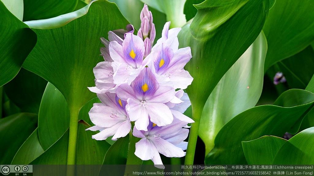 雨久花科(Pontederiaceae)_布袋蓮;浮水蓮花;鳳眼蓮(Eichhornia crassipes)
