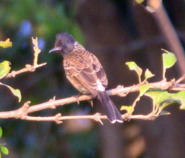 ecosystem/fauna/Red-Vented Bulbul(Pycnonotus cafer)