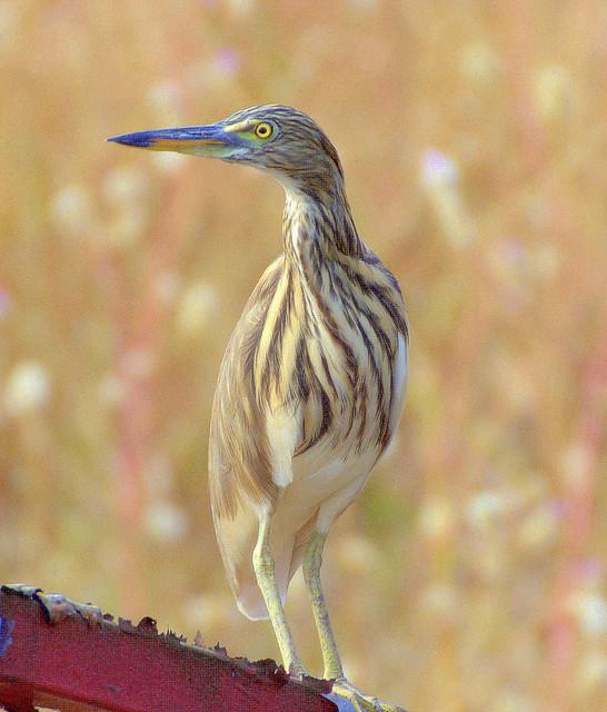 ecosystem/fauna/Indian Pond Heron (Ardeola grayii)