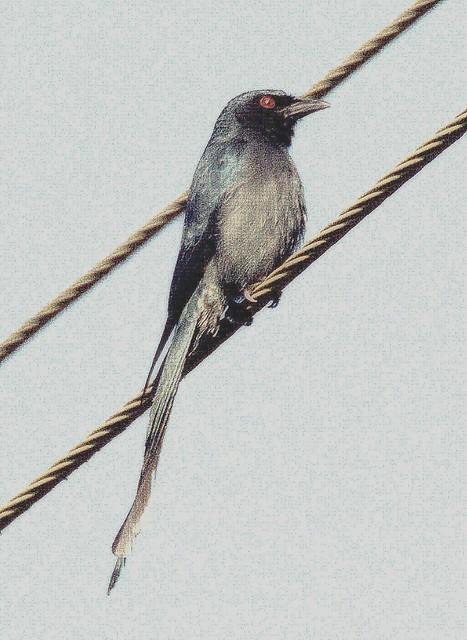 ecosystem/fauna/Ashy Drongo(Dicrurus leucophaeus)