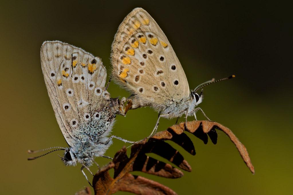 Polyommatus icarus mating (4)