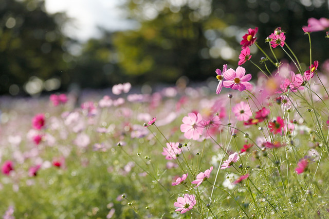 Cosmos blooming hill