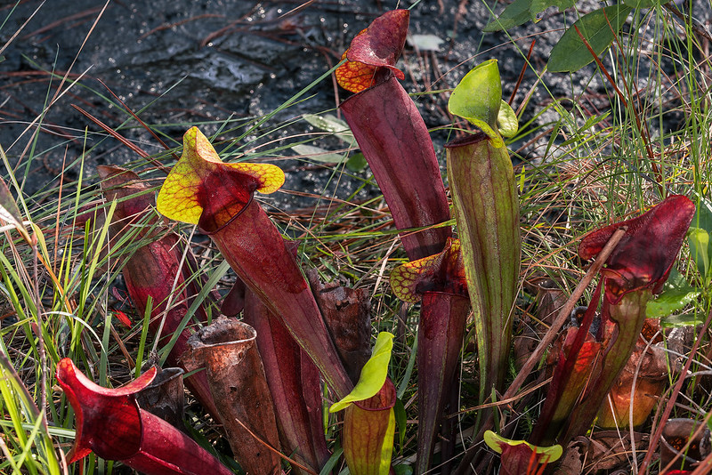 Catesby's Hybrid Pitcher Plant