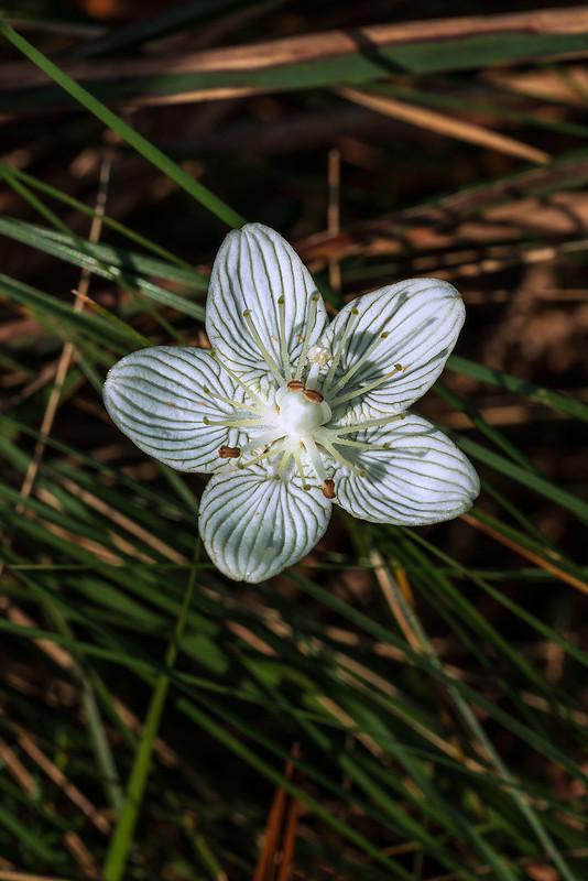 Carolina Grass-of-Parnassus