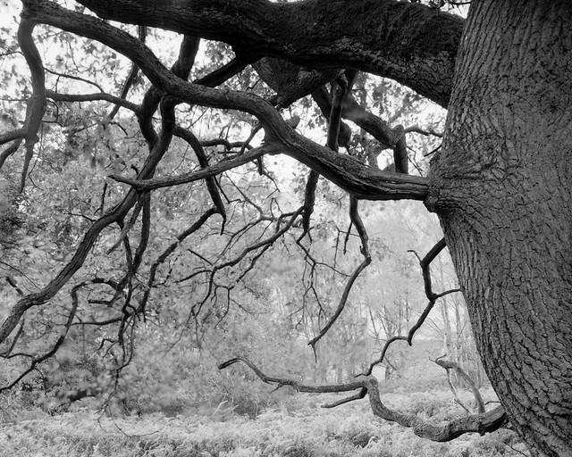 Hyons Wood, Walker Titan SF with Nikkor 90mm lens, Delta 100 in Bellini Eco Dev