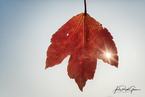 A beautiful fall leaf hangs at the State Botanical Garden of Georgia    Judy Royal Glenn Photography