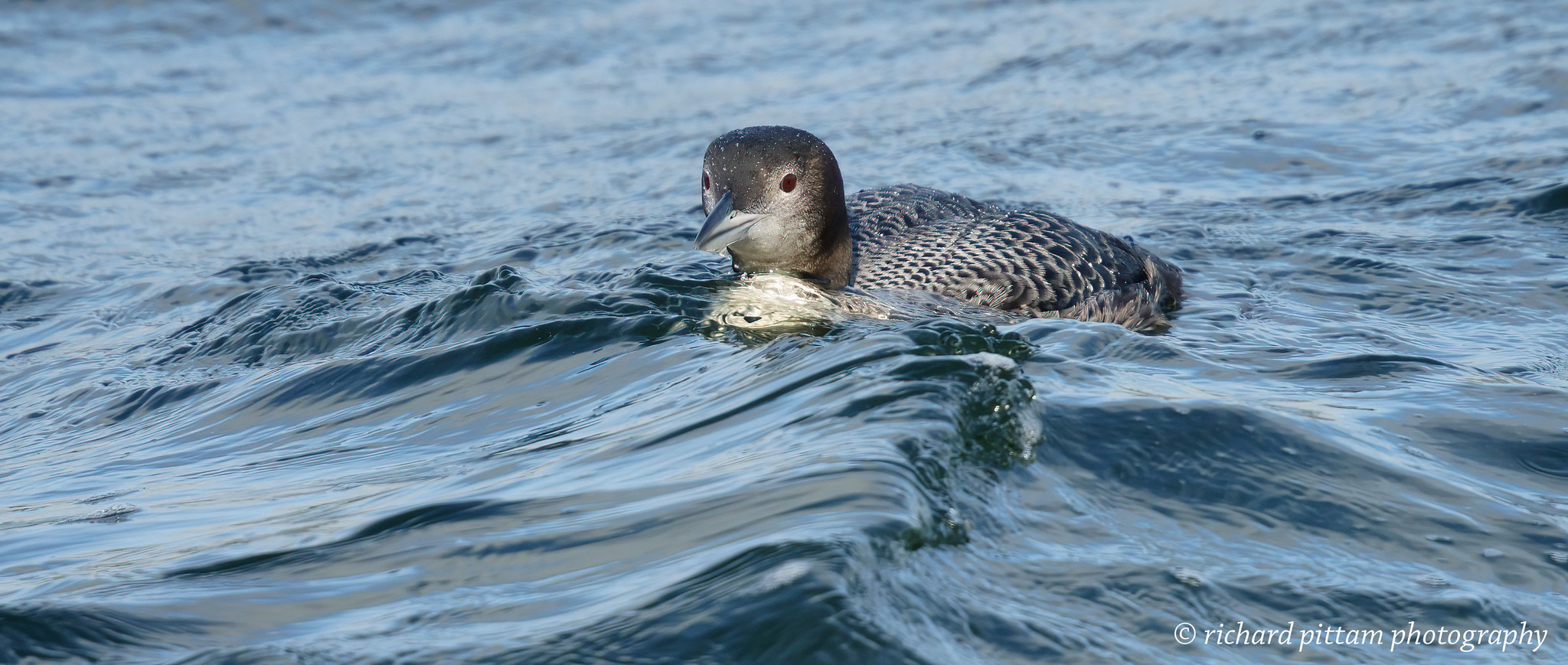 Great Northern Diver juvenile