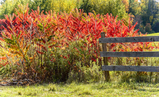 Blazing Autumn Sumac