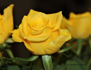 Yellow Rose (Rosa xanthina lindl) | by Gerald (Wayne) Prout