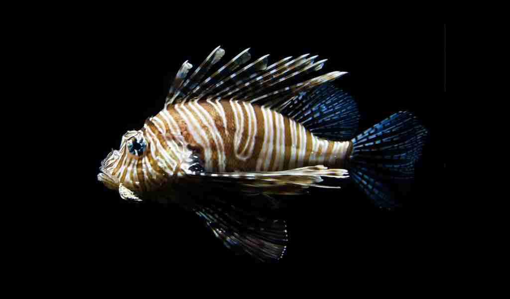 des-poissons-ont-des-nageoires-très-sensibles