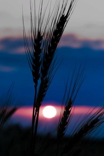 oklahoma wheat sunset