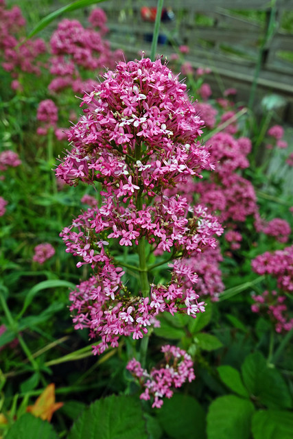 Red valerian aka Centranthus ruber at Battery Point Light NHP in Crescent City, CA