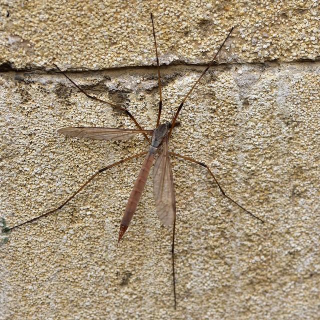 Tipula paludosa