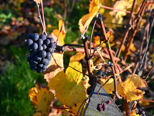 Autumn colors in champagne vineyard 2/5
