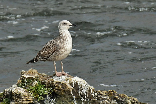 Goéland leucophée immature - Larus michahellis - Immature yellow-legged gull