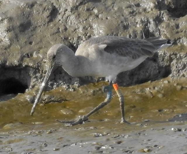 Wild-reared godwit at Tagus estuary, Portugal 03-10-2020 by Daniel Raposo.