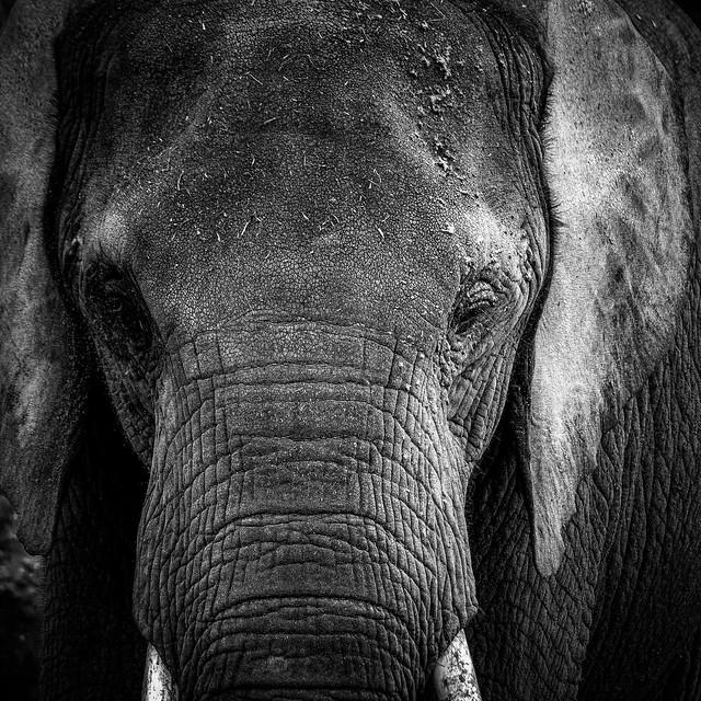 African Elephant close-up portrait