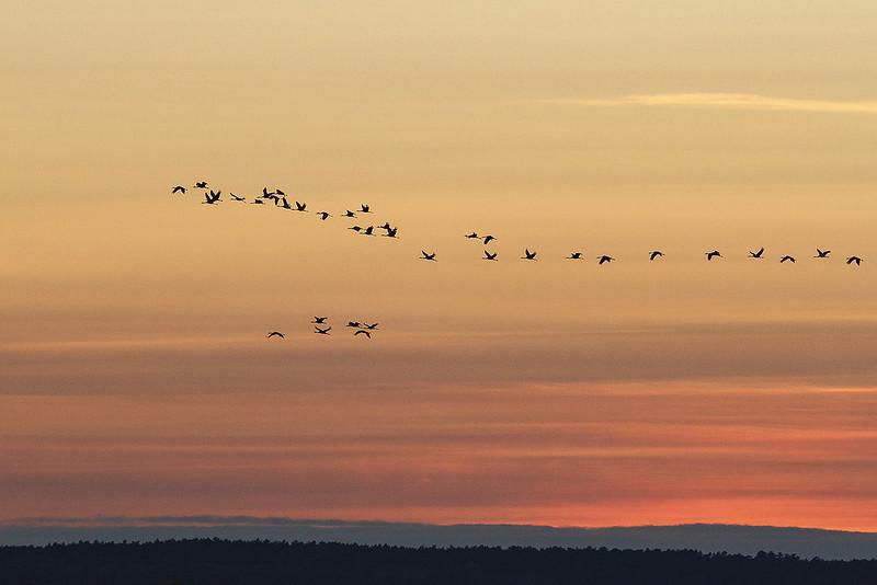 Kranichflug in der Abendsonne