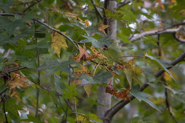 FC 11-1-20 Sweetgum close-up on the Sandridge Trail