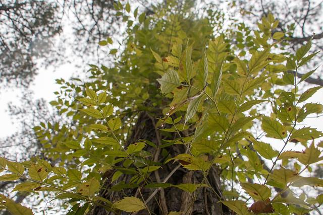 FC 11-1-20 Fall colors of the trumpet vine on the Sandridge Trail
