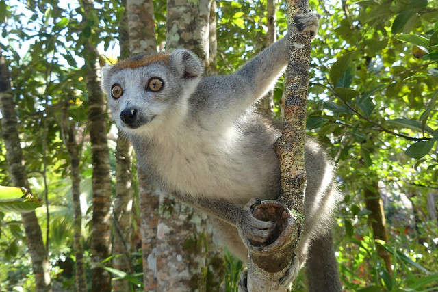 Crowned Lemur - Kronenlemur, Lac Ampitabe, Ankanin'ny Nofy