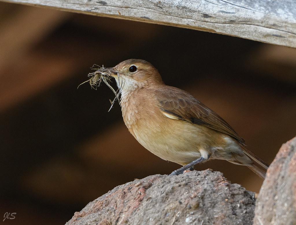 Rufous Hornero building his nest, Fournier roux construisant son nid