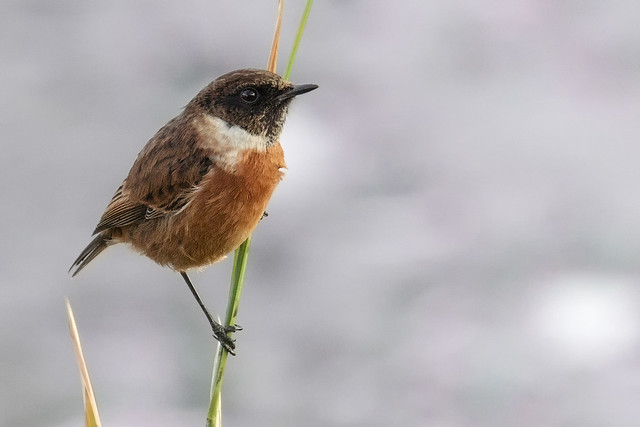 Stonechat at RSPB Old Moor