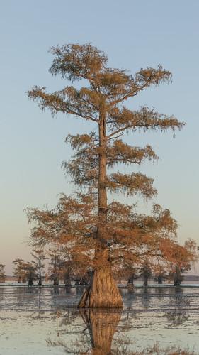 2020 caddolake easttexas harrisoncounty mabrycampbell november texas usa autumn fall image photo photograph unitedstates karnack tree trees landscape lake baldcypress sunset fav10