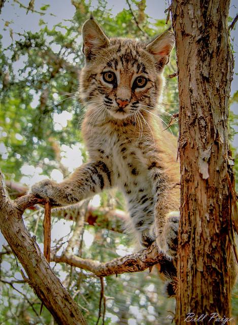 Bobcat-OKWildlife-III