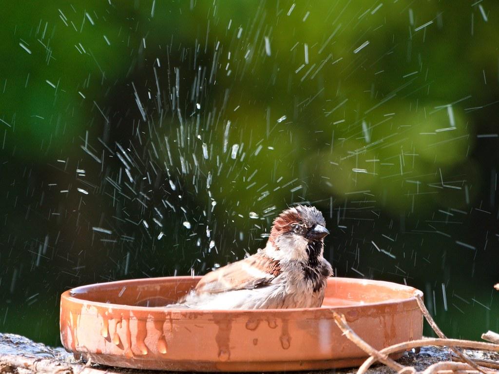 Le bain du moineau 50567123526_f6a718e162_b