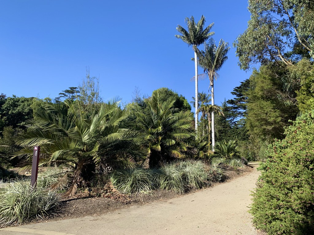 Ceroxylon quindiuense and Jubaea chilensis