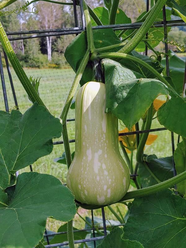 Butternut Squash Growing