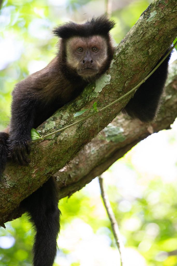 Black Capuchin - Sapajus nigritus