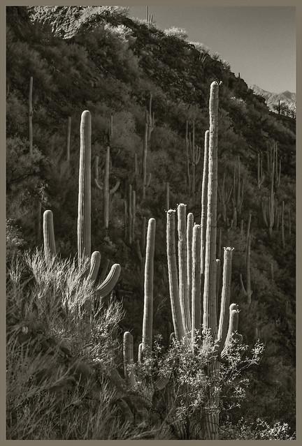 Catalina Hwy IR #89 2020 Blooming Saguaros