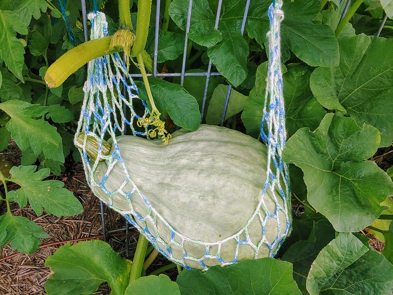 Blue hubbard squash in its new sling - don't grow these vertically!