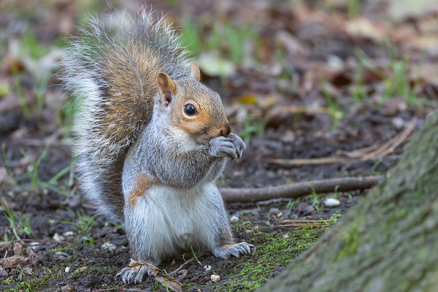 Grey Squirrel storing up for Winter.