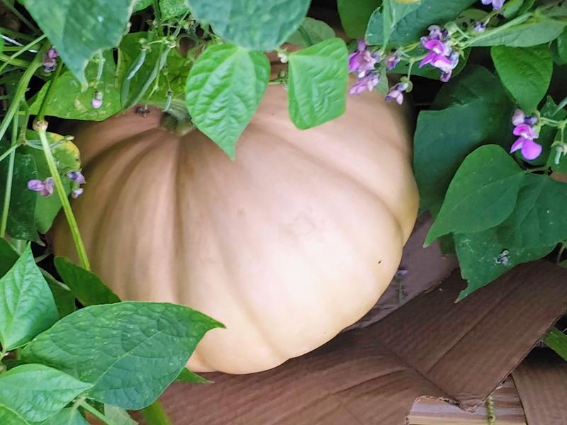 Long Island Cheese Pumpkin growing