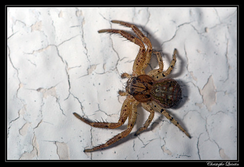 Xysticus sp. femelle