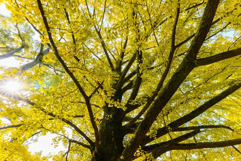 Yellowing ginkgo.