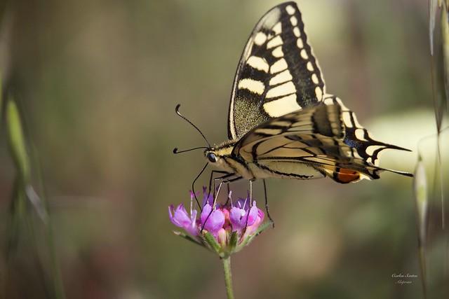 Borboleta Cauda de Andorinha (Papilio machaon)