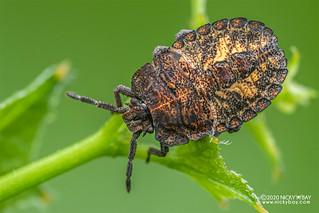 Stink bug (cf. Megymenum spinosum) - DSC_8860
