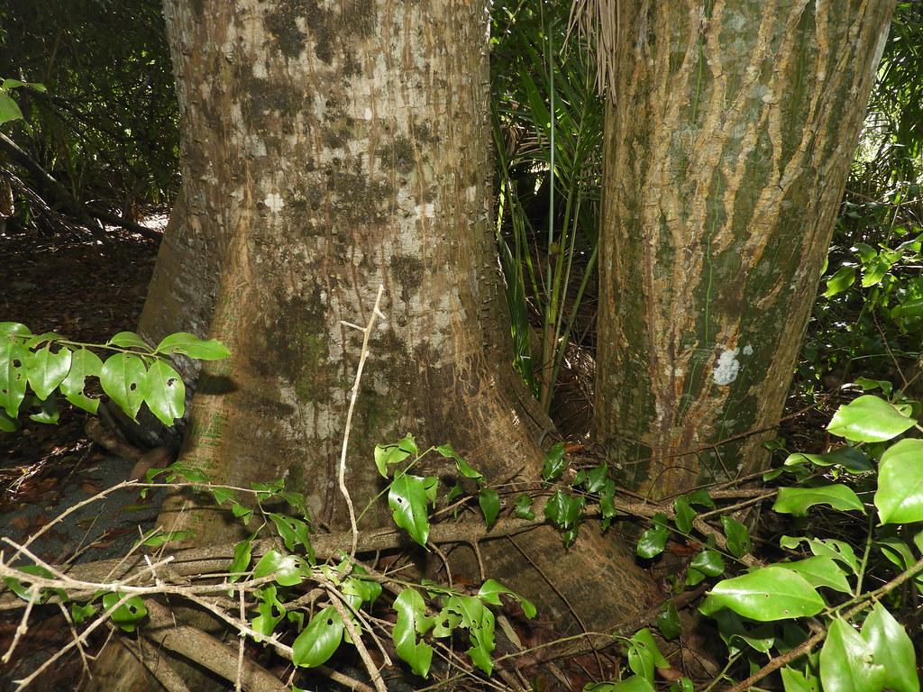 Ceiba pentandra (L.) Gaertn. * Ceiba *, Pseudobombax septenatum (Jacq.) Dugand * Ceibo barrigón *