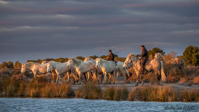 Regroupement des chevaux camarguais à l'heure dorée