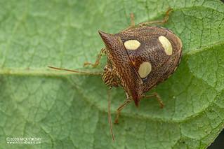 Stink bug (Paracritheus trimaculatus) - DSC_8577
