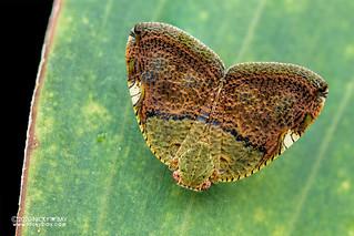 Moth-like planthopper (Ricanula stigmatica) - DSC_8827