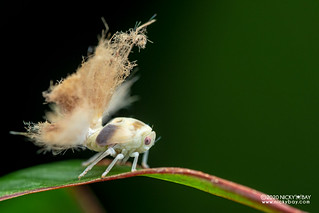 Moth-like planthopper nymph (Ricaniidae) - DSC_8781