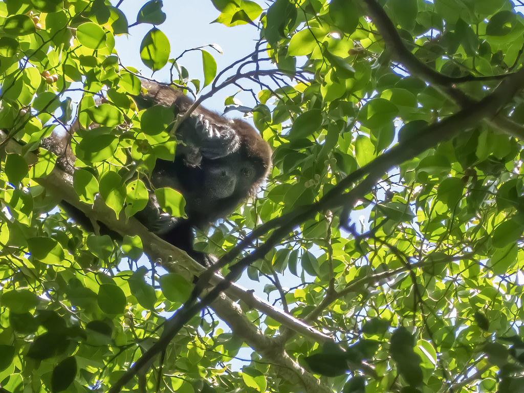 Cache-cache du singe hurleur... 50570410622_c311999318_b