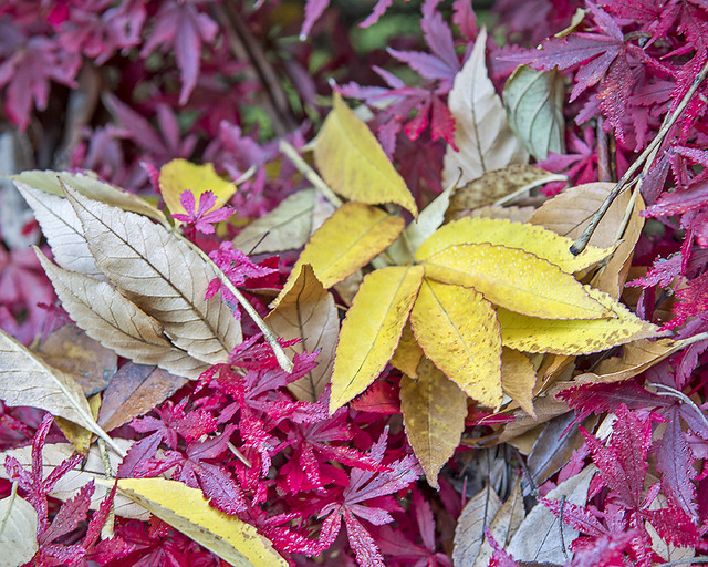 Red maple and yellow leaves, Darts Hill