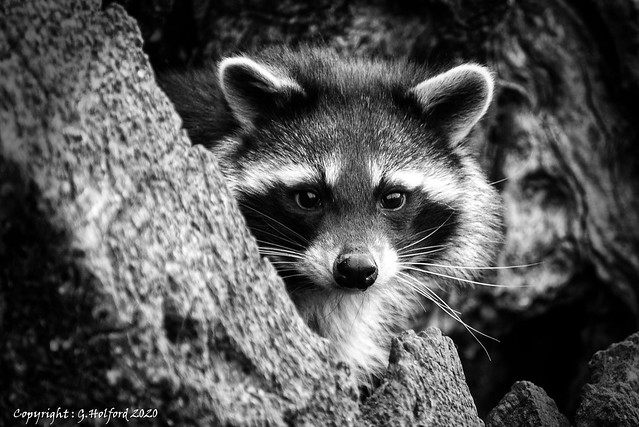 Racoon on Watch!